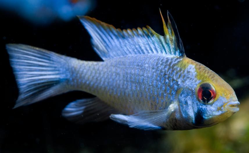 Electric blues - Practical Fishkeeping