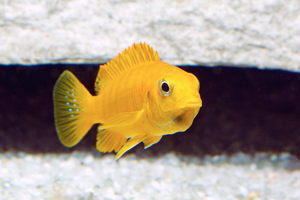 Tropheops   chilumba  female, mouthbrooding — juveniles and females are all yellow in colour. males are blue. Image by Kevin Bauman.