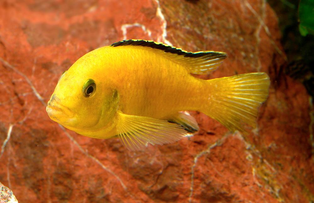 Labidochromis caeruleus  yellow  — bright yellow males, females and fry. Image by MP & C Piednoir,  Aquapress.com.