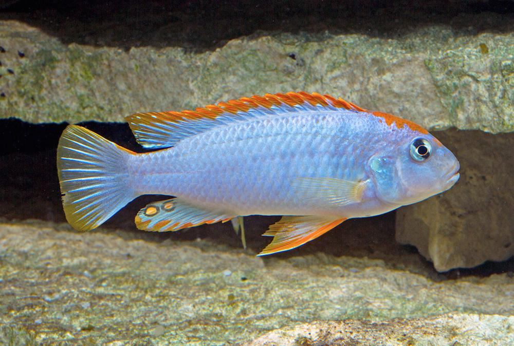 Pseudotropheus perspicax.  Image by Kevin Bauman.