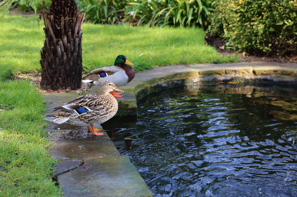 Ducks are endearing but they can make a real mess of your pond. Image by Shutterstock.