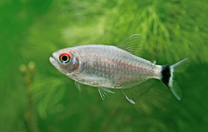 A shoal of Red-eyed tetra looks amazing in a well-planted tank.