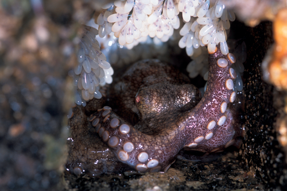 Female octopus will slowly fade away while tending eggs.
