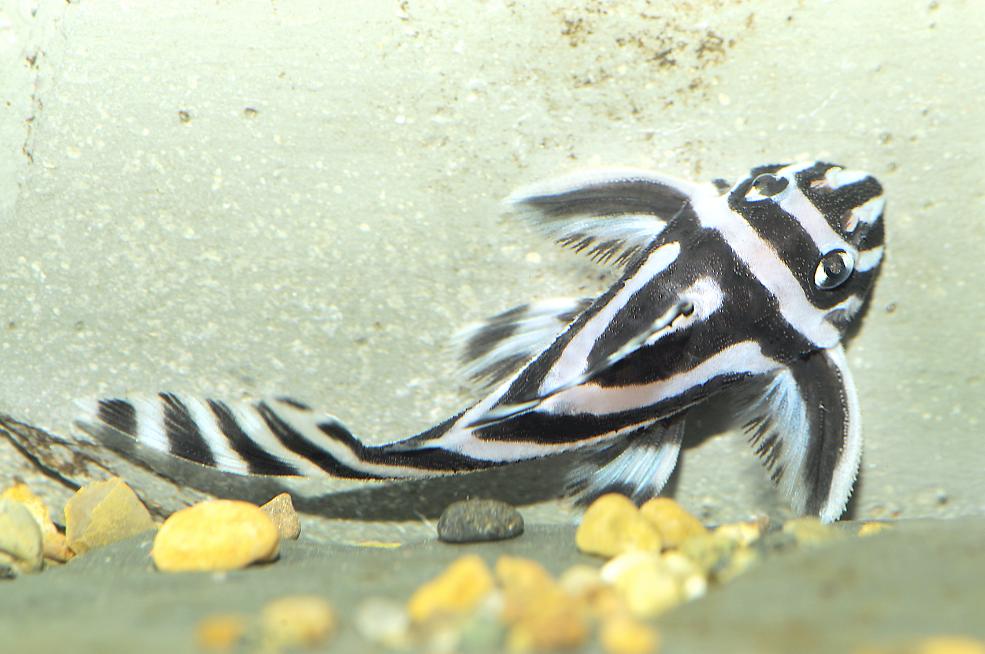 Zebra plec,  Hypancistrus zebra.  Picture by  AquariumPhoto.dk
