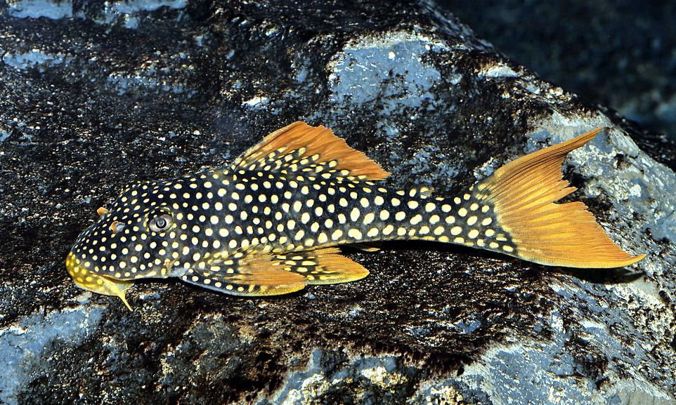 Often available at a small size, the stunning Sunshine plec will outgrow the average community tank.Picture by   AquariumPhoto.dk