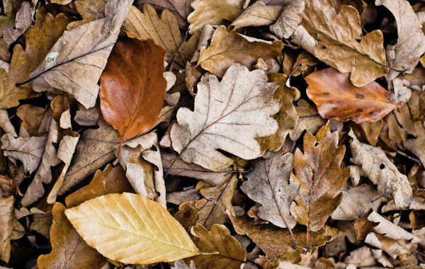 Collect fallen leaves this autumn to provide natural — and free — decor for your aquarium.