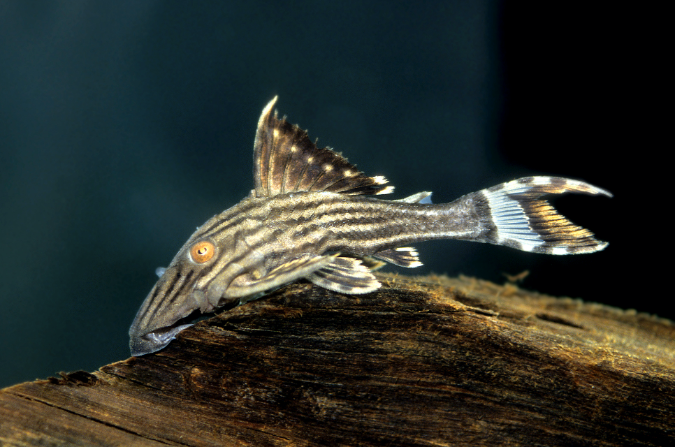 Royal plecs will need plenty of vegetable foods plus some wood to graze on. Another large-growing species. Picture by   AquariumPhoto.dk