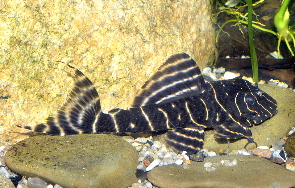 Flash plecs are one of the more readily available species and stay at a manageable size. Picture by   AquariumPhoto.dk