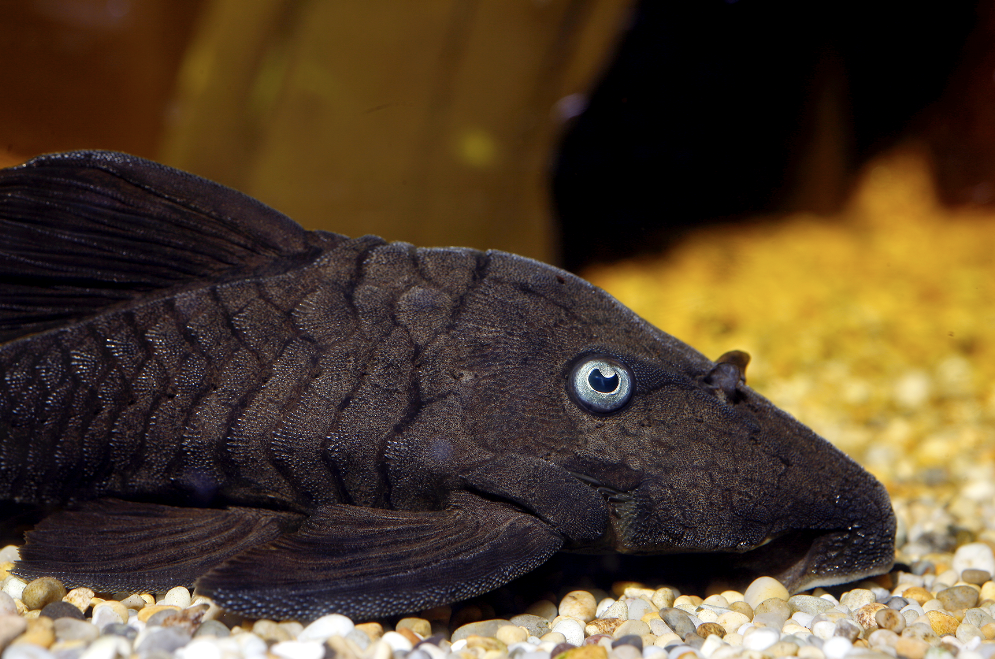 Blue-eyed plecs are stunning but rarely available. When they are, expect to pay hundreds...