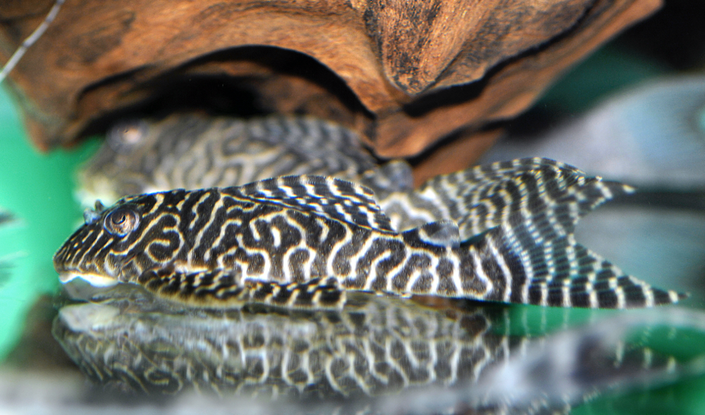 The King tiger plec is a lovely species that's pretty straightforward to keep and feed. Picture by   AquariumPhoto.dk