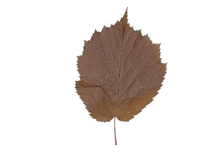 Hazel leaf.