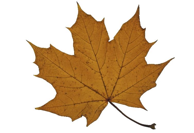 Plane leaf.