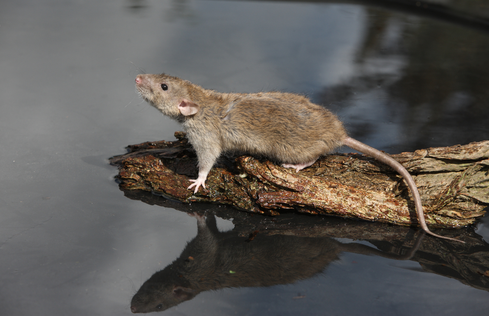 Rats aren't the ideal pond visitors, so don't encourage them by leaving fish food lying around. Image by Shutterstock.