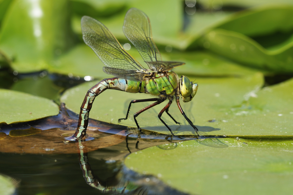 Damsel and dragonflies are stunning to see flitting around your pond, but their larvae will predate on baby fish. Image by Shutterstock.