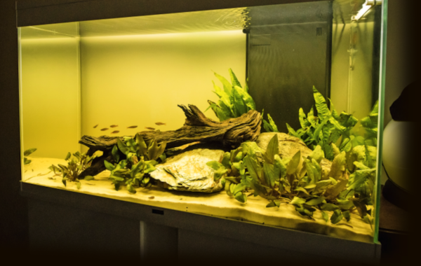 Look closely and you'll see not just danios in this set-up, but also Kuhli loaches out and about in the open.