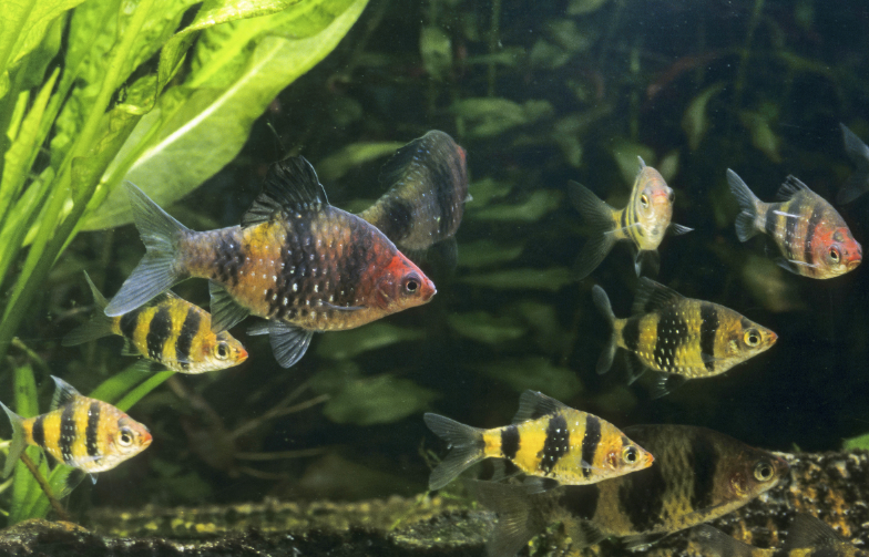 The Black ruby barb,  Pethia nigrofasciata , is a gorgeous fish for the temperate aquarium.