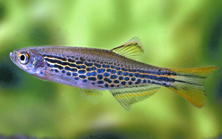 Orange-finned danio,  Brachydanio kyathit