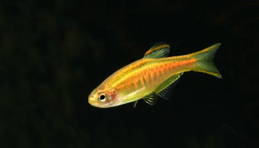Glowlight danio,  Celestichthys choprae