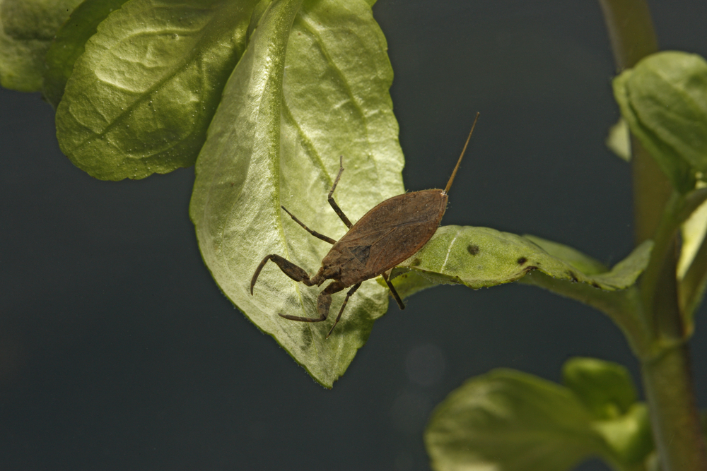 Water scorpions will predate fry, but bigger fish will eat them. Image by Shutterstock.