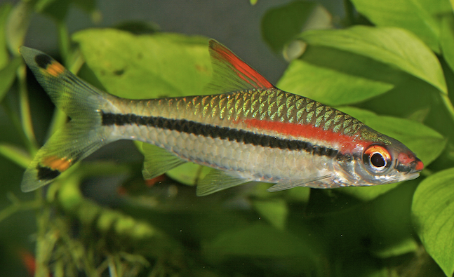 Red-lined torpedo barb,  Sahyadria denisonii