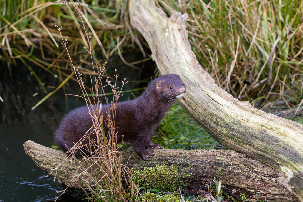 Mink are unlikely to turn down a free and easy fish supper. Image by Shutterstock.