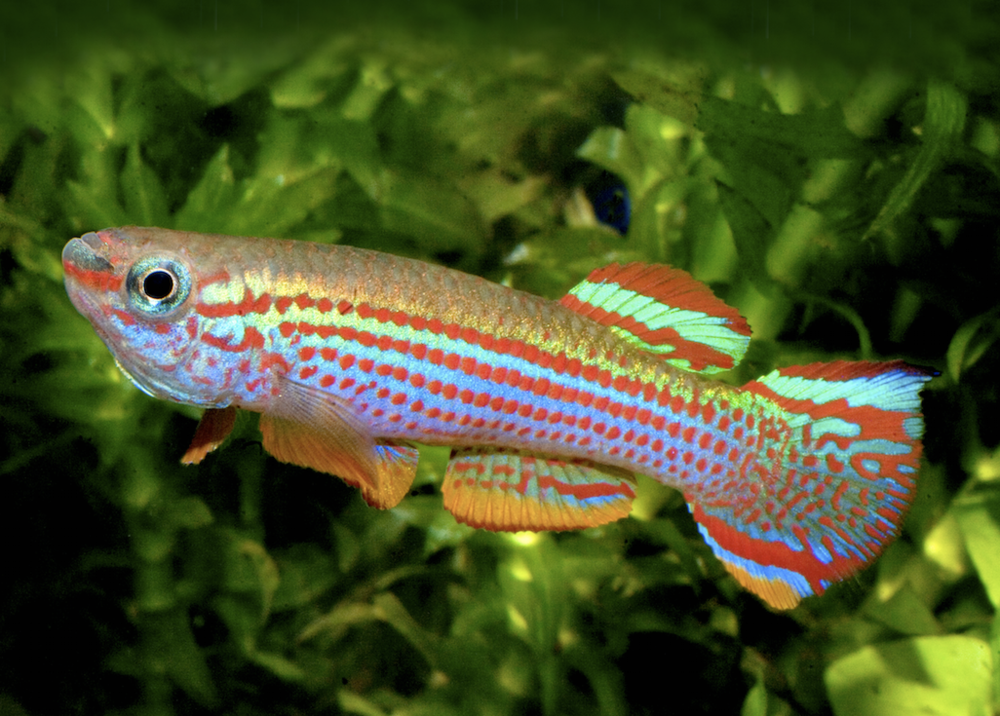 This fish packs an incredible amount of colour into a small body.