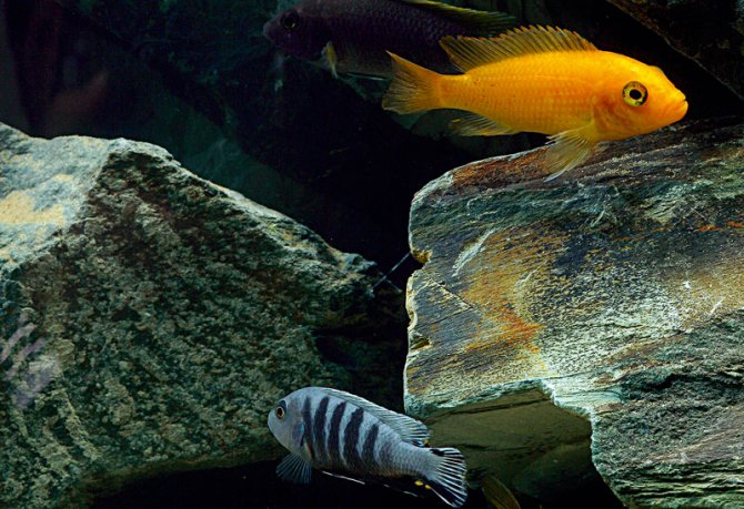What Rocks Should I Use For Malawi Cichlids Practical Fishkeeping