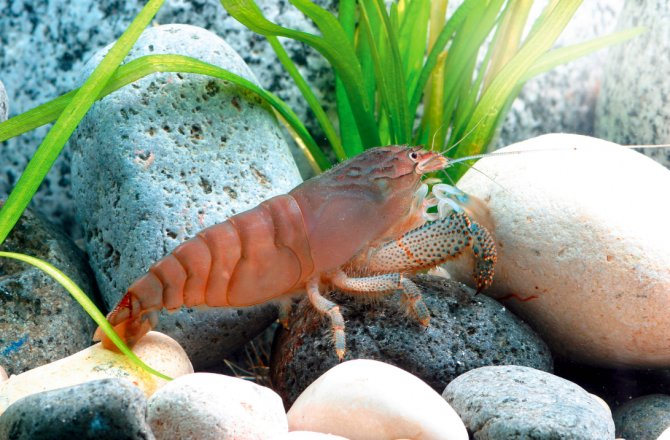 Are there any shrimps my fish won't eat? - Practical Fishkeeping