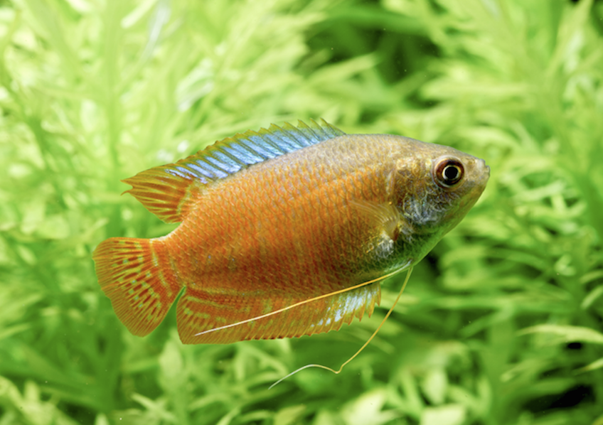 Male Dwarf gouramis can pester an unwilling partner to death.