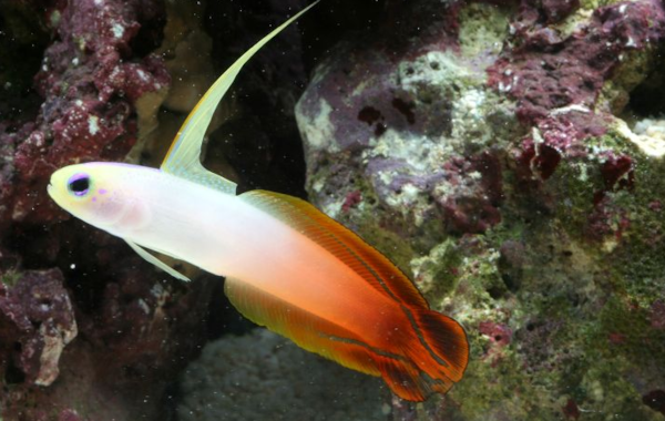 Firefish can be aggressive towards one another in the aquarium.