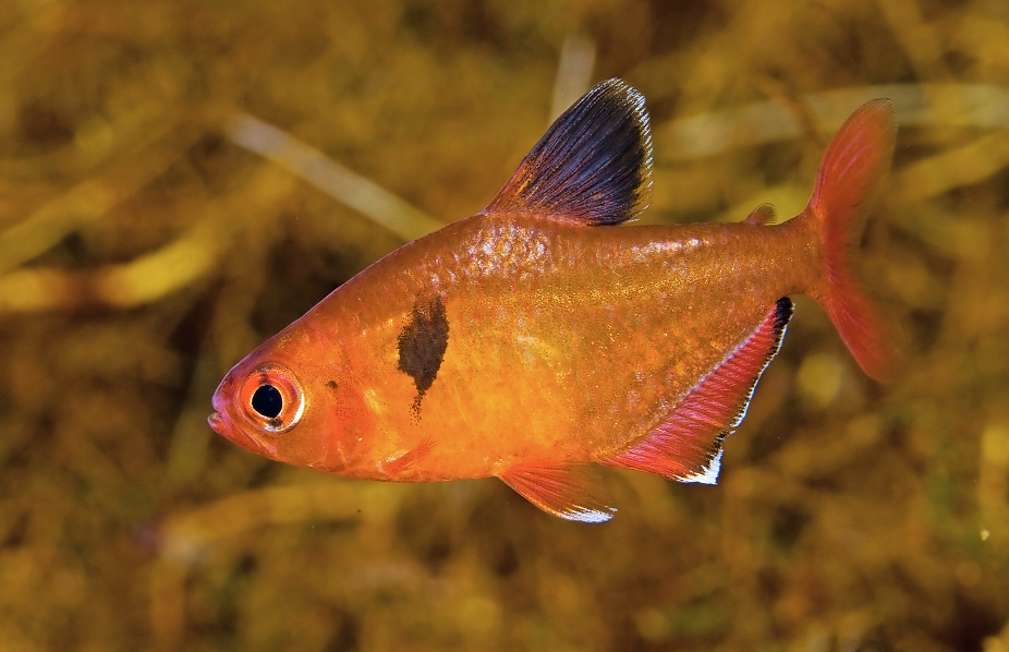 Serpae tetras are stunning, but renowned for fin-nipping behaviour.
