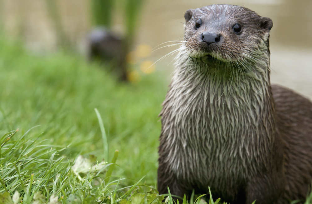We've heard of several cases where pondfish have been eaten by otters. Image by Shutterstock.