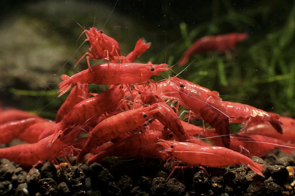 The BIG shrimp food test - Practical Fishkeeping