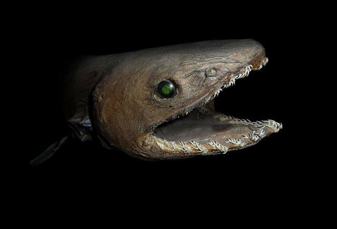 Weird Fish Of The Week Frilled Shark Practical Fishkeeping