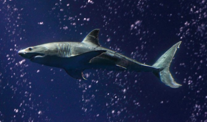 Great white shark dies soon after release from aquarium ...
