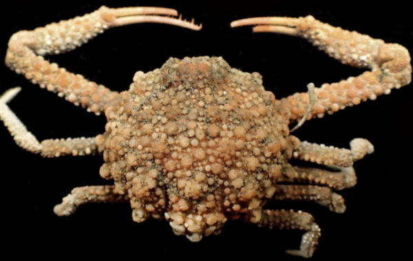 The new Starry crab. Image by Dr. Peter Ng and Dr. Ming-Shiou Jeng.