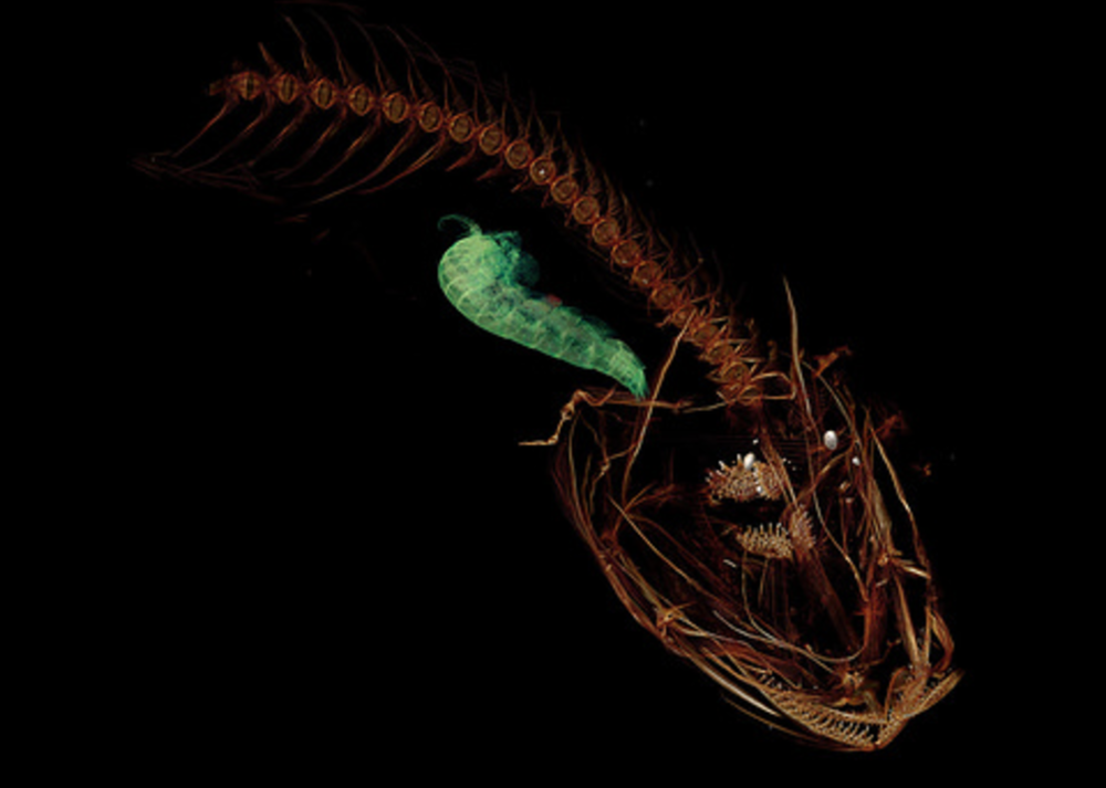 A CT scan of the Mariana snailfish. The green shape, a small crustacean, is seen in the snailfish's stomach. Image credit: Adam Summers/University of Washington