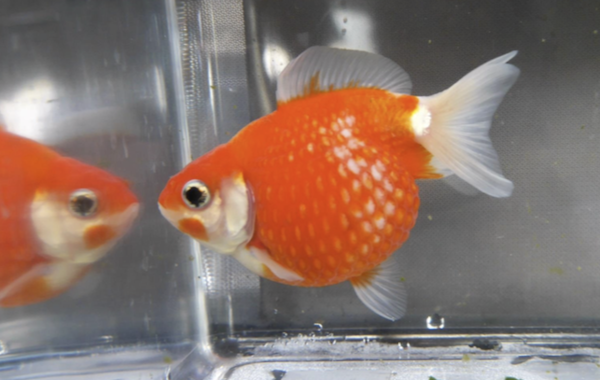 Dean Roberts' Pearlscale goldfish won Best in Show.