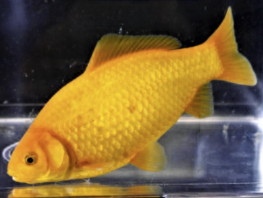Common goldfish.