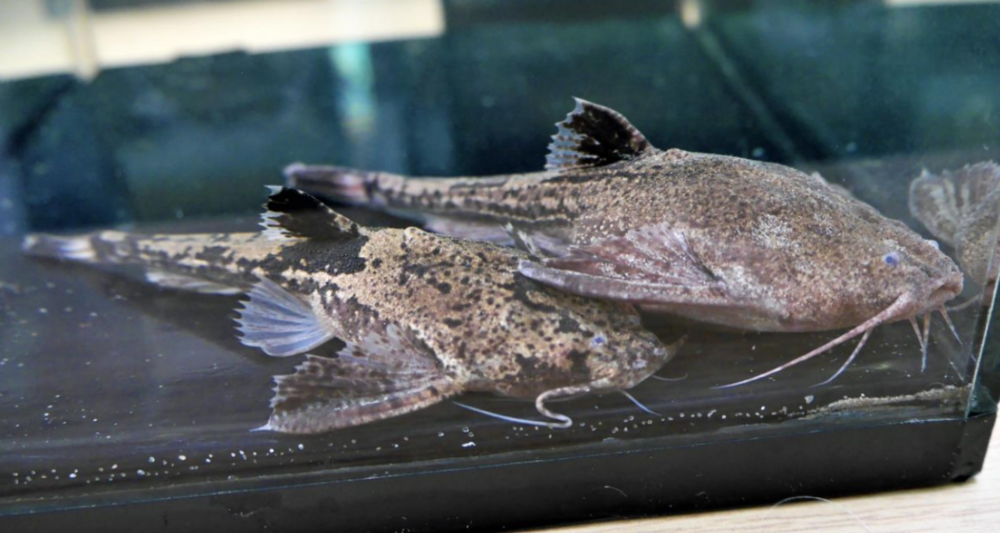 Best Exhibit was also one of Roy's — this time a superb pair of Banjo catfish.