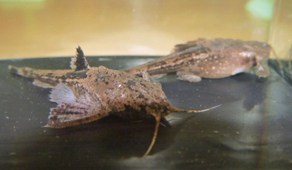 These  Bunocephalus larai  banjo catfish won Best Exhibit at the show.