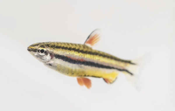 Small is beautiful! This pencilfish took a Best in Show at the 2016 Festival of Fishkeeping
