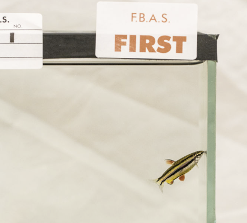 Roy Chapman's pencilfish took top honours in the Festival Open Show. Image by Nathan Hill.