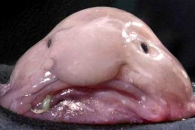 Blobfish don't actually look like this when they're underwater... Image by Inosipmax, Creative Commons.
