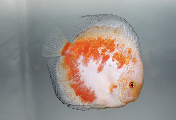 Why not enter your Discus for the show? You could walk away with a trophy!