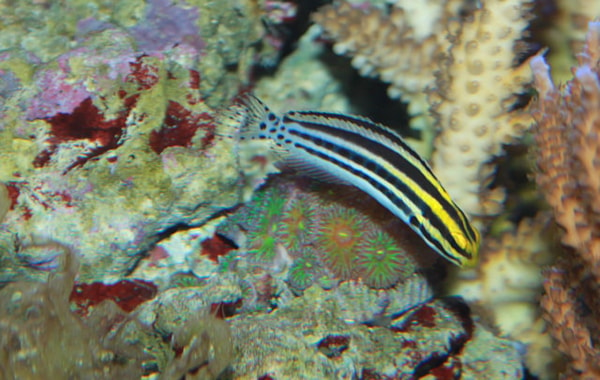 Striped poison fang blenny,  Meiacanthus grammistes . Image by  Brian Gratwicke, Creative Commons.