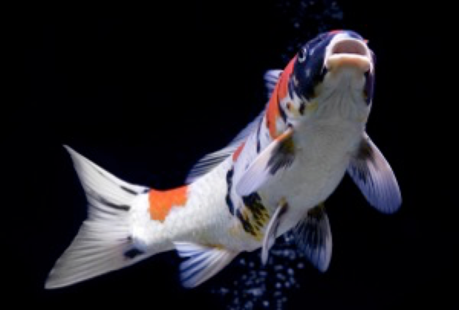 Squire's Koi Show offers a fun day out for the whole family.
