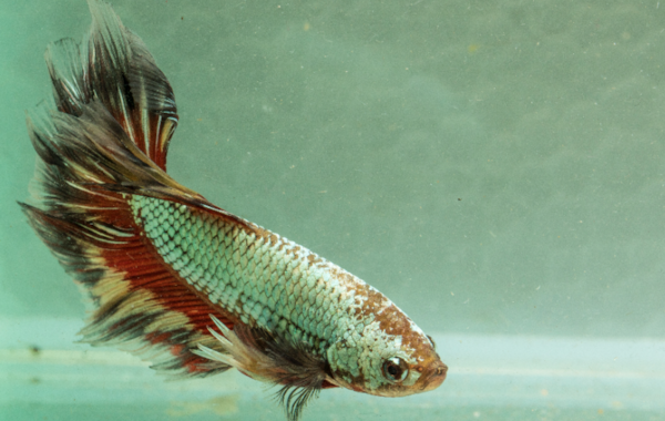 See some amazing  Betta  — and don't miss the chance to pick up some great fish in the auction — at the National  Betta  show.