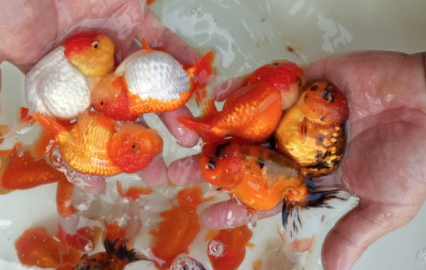 Some of the Ranchu goldfish at Star Fisheries.