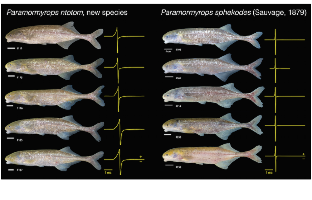 The longer duration electric organ discharges or EODs of  P. ntotom  relative to those of  P. sphekodes  (shown in yellow to the right of each individual) first tipped off researchers that they might be different species. Image:John Sullivan.